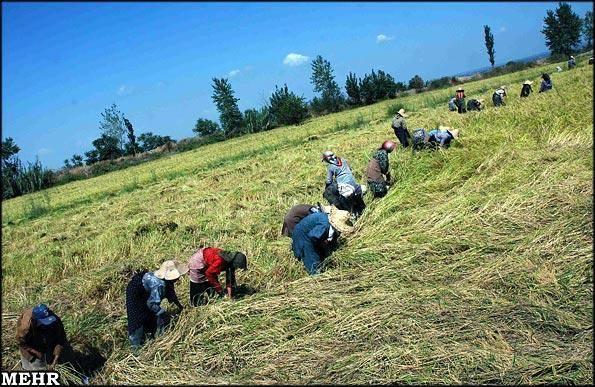 استمرار قصه پررنج برنجکاران/برنج تازه هم روی دست کشاورزان ماند!