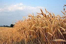 تولید سالانه 15 میلیون تن گندم در کشور