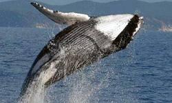 پيدا شدن لاشه يك نهنگ 14 متري در لنگرگاه بندر عسلويه