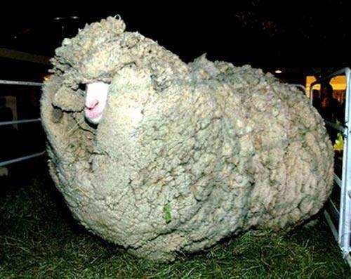 پشمالوترين گوسفند نيوزلند درگذشت (+عکس)