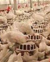 آنفولانزای مرغی در کشور هنوز مهار نشده