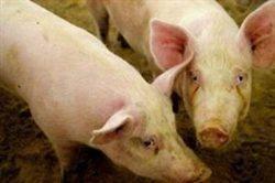 واردات گوشت خوك به داخل ايران تكذيب شد