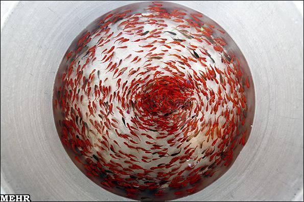 بودن یا نبودن ماهی قرمز در سفره هفت سین