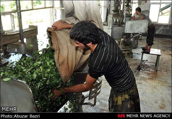 گزارش تصویری / نابسامانی صنعت چای -2