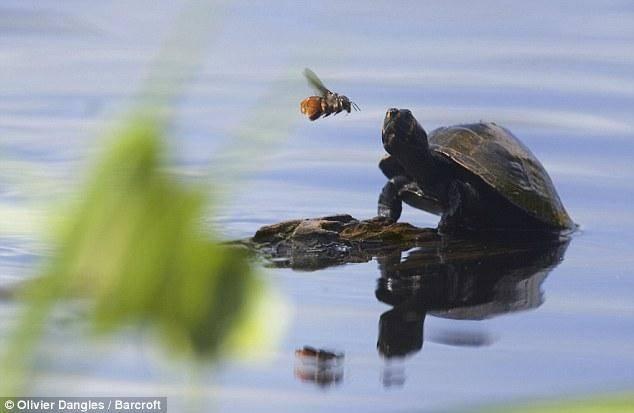 کمک باور نکردنی زنبور به یک لاک پشت (+عکس)