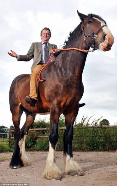 اسبی که 3 متر قد دارد/ تصاویر
