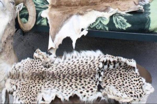 شکار یک قلاده یوز پلنگ آسیایی