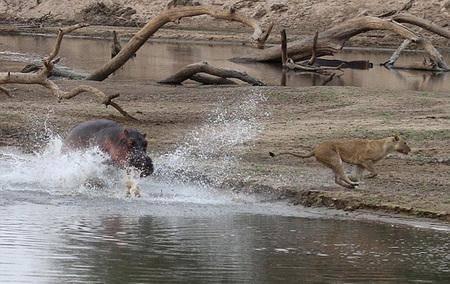 فرار شير از دست اسب آبی