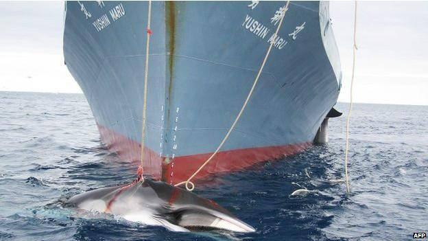 """""""شکار نهنگ توسط ژاپن به منظور اهداف علمی نیست"""""""