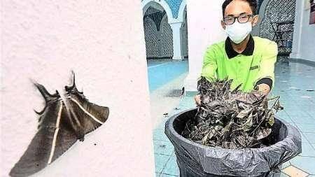 هجوم پروانه های غول پیکر به مالزی/تصاویر