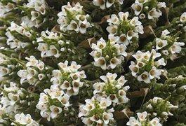 گیاهی که هرقرن یکبار گل میدهد/عکس