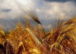 خرید تضمینی گندم از مرز یک میلیون تن گذشت