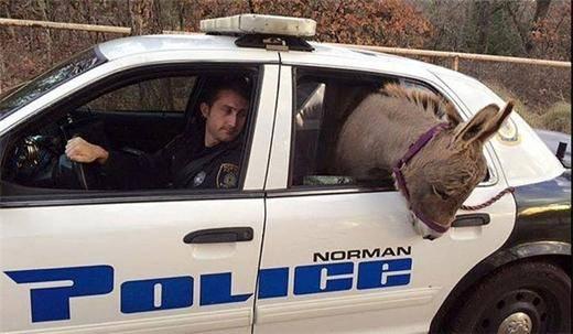 الاغی که سوار ماشین پلیس شد! + عکس