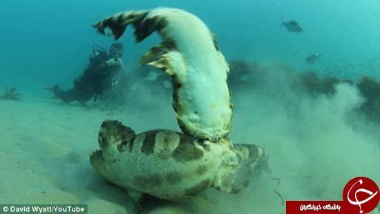 درگیری دو کوسه در اعماق دریا +تصاویر