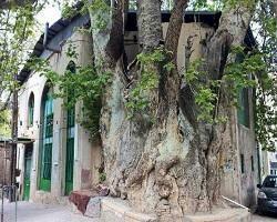 درخت چنار 1500 ساله در قم + عكس