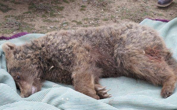 علت مرگ خرس قهوه ای پارک ملی گلستان در دست بررسی است