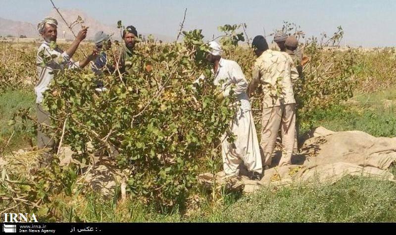 افزایش تولید پسته استان یزد در اوج کم آبی