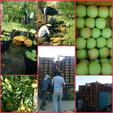 خرید 800 تن میوه شب عید در کهگیلویه وبویراحمد آغاز شد