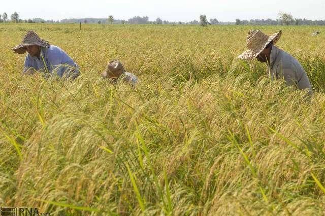 پیش بینی برداشت 28 هزار تن برنج در کهگیلویه و بویراحمد