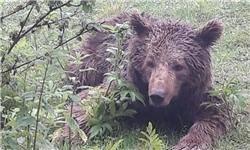 ماجرای خشم و رفتارهای تهاجمی خرس کلاله