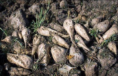 آغاز برداشت چغندر قند از اراضی کشاورزی قزوین