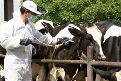 بیش از 50 هزار راس دام علیه تب برفکی در ایرانشهر واکسینه شدند