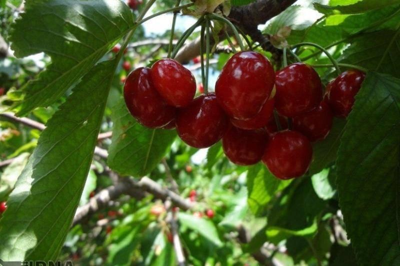 وزارت جهاد کشاورزی در تعیین قیمت میوه دخالتی ندارد