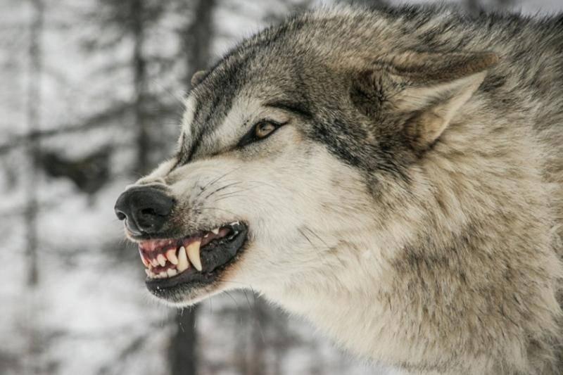 گرگ ها در ندوشن یزد 61 راس گوسفند را از پای در آوردند