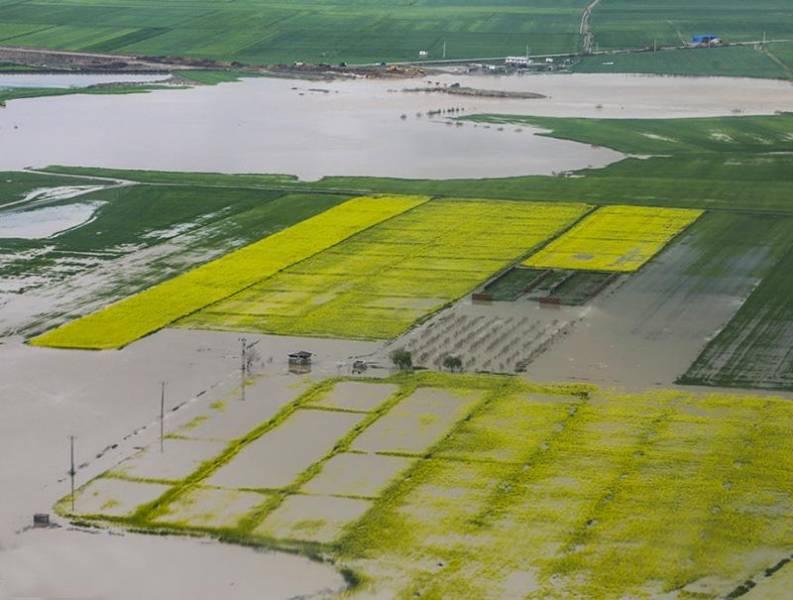 سیل 13 هزار هکتار مزارع کلزا در گلستان را غیرقابل برداشت کرد