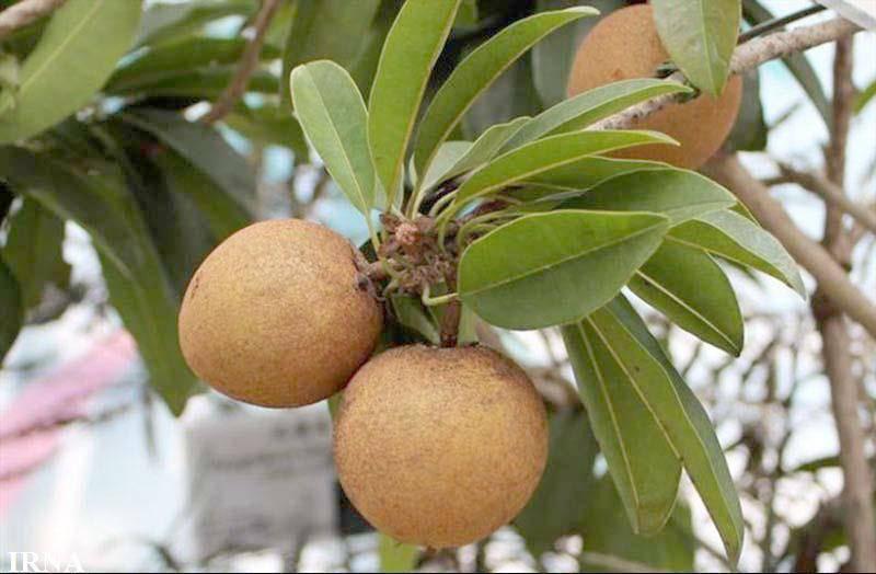 1150 تن میوه گرمسیری چیکو در سیستان و بلوچستان برداشت شد